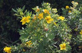 Курильский чай — долгоцветущее украшение сада