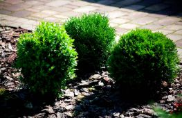 Особенности выращивания туи Даника. Использование культуры в садовых композициях