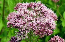 Как украсить ароматным посконником садовую композицию. Посадка и уход за кустарником