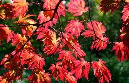 Нюансы выращивания японского клена: от посадки до формирования ландшафтной композиции