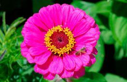 Особенности выращивания георгиноцветковой группы циннии изящной