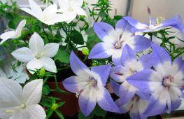 Как посадить цветок невеста и жених. Уход за комнатным растением
