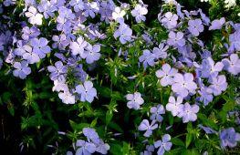 Флокс под названием растопыренный – нежное облако в вашем саду