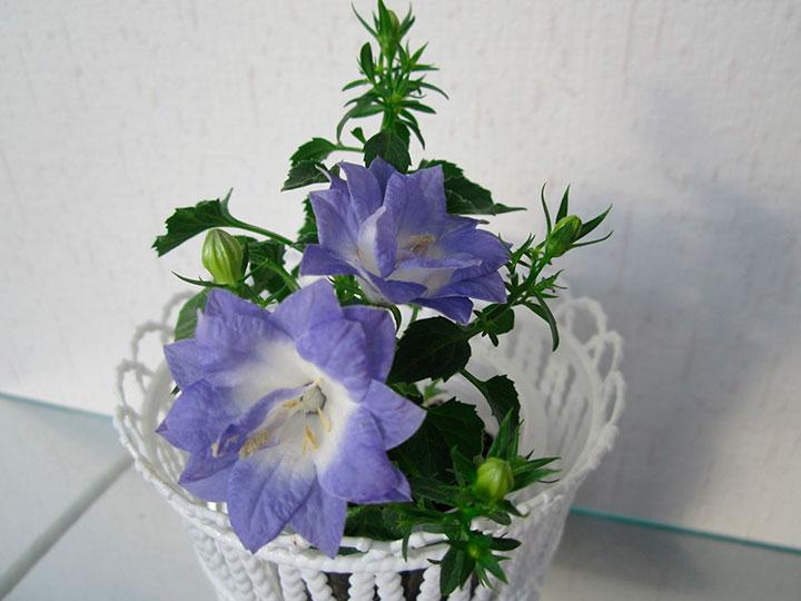 как выглядит цветок жених