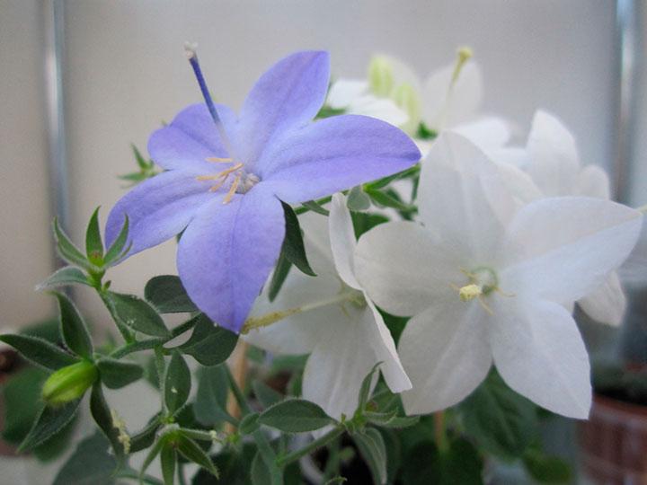 растение жених-невеста