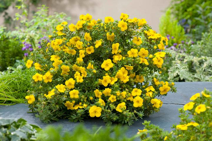 цветы курильского чая